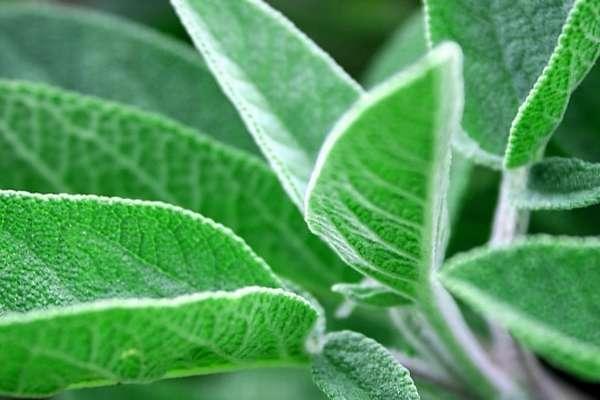 Полезные свойства травы шалфея