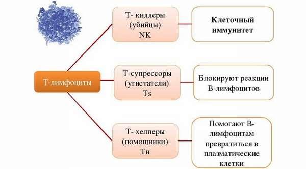лимфоциты