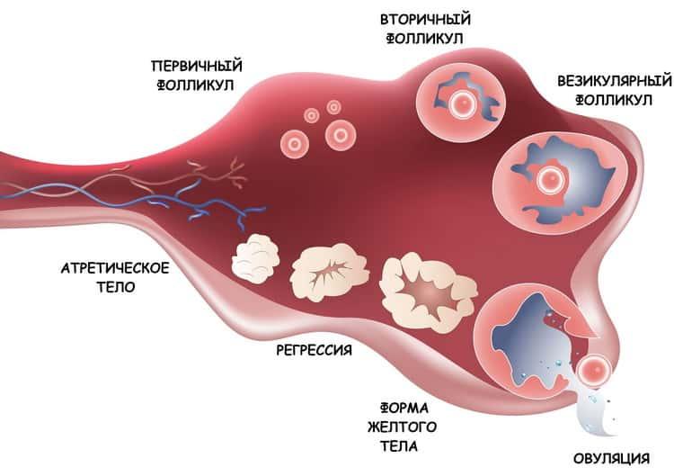 Почему возникают во время овуляции кровяные выделения