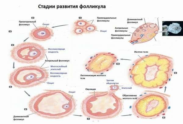Персистенция фолликула правого и левого яичника методы лечения