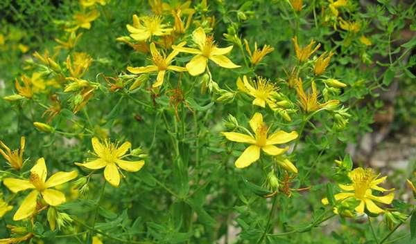 Травы при эндометриозе матки крапива, чистотел, календула