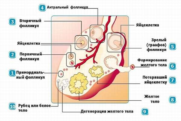Формирование жёлтого тела в левом яичнике