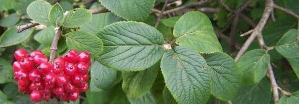 Чай из листьев калины от воспаления яичников