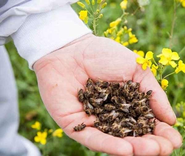 настойка из пчелиного подмора благоприятно влияет на иммунитет
