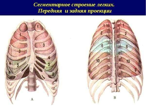 Анатомия: Сегментарное строение легких. Сегменты легкого